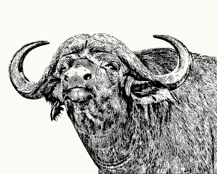 African Buffalo Bull Portrait by Scotch Macaskill
