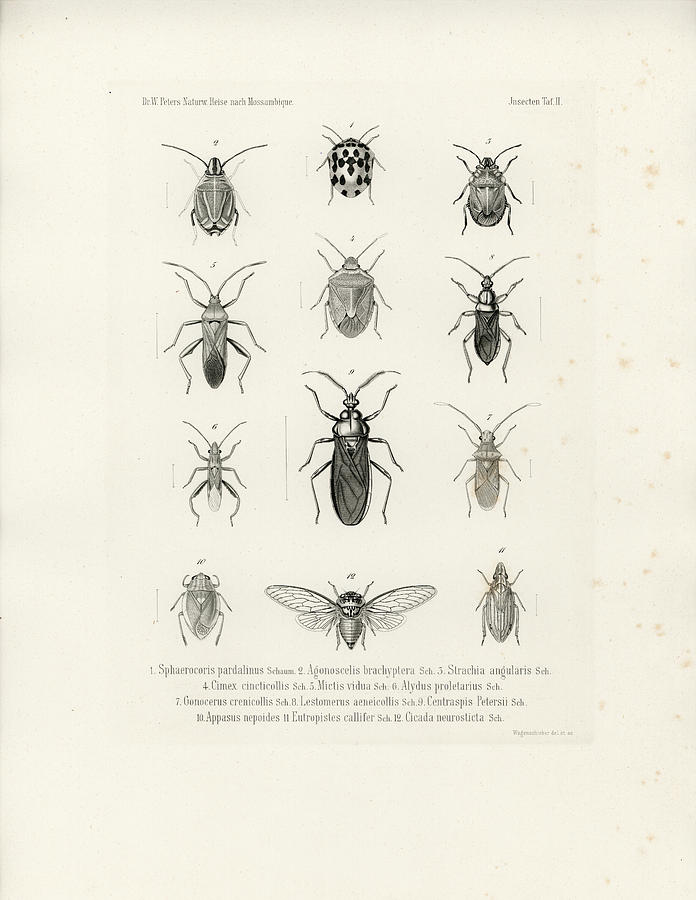 African Bugs and Insects by W Wagenschieber
