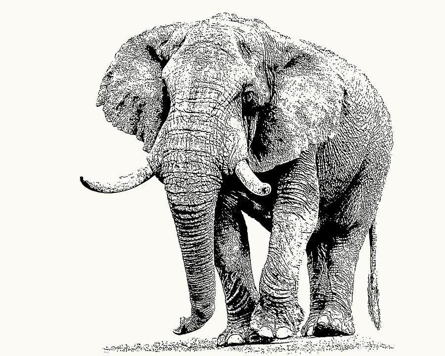 African Bull Elephant with Fine Tusks by Scotch Macaskill