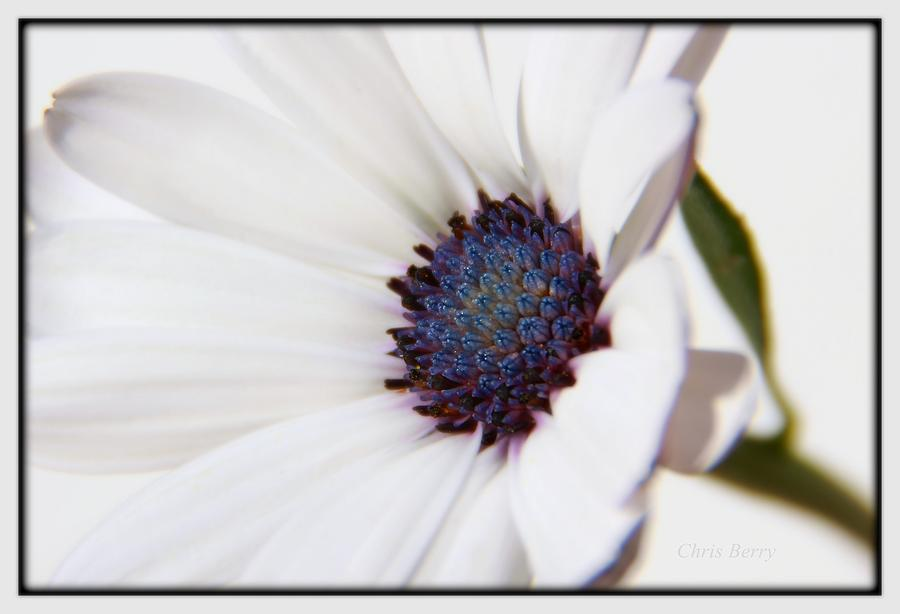 African Daisy  Sky and Ice by Chris Berry
