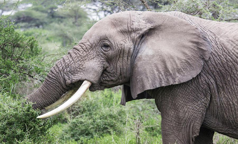 African Elephant  by Brenda Smith DVM