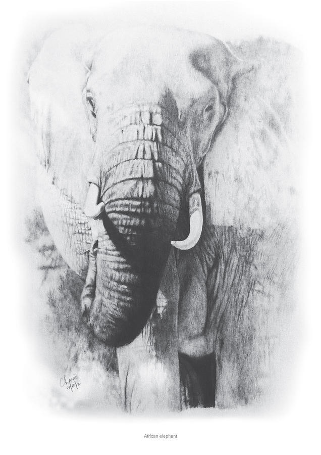 African Elephant Drawing - African Elephant by Chamindra De Silva A