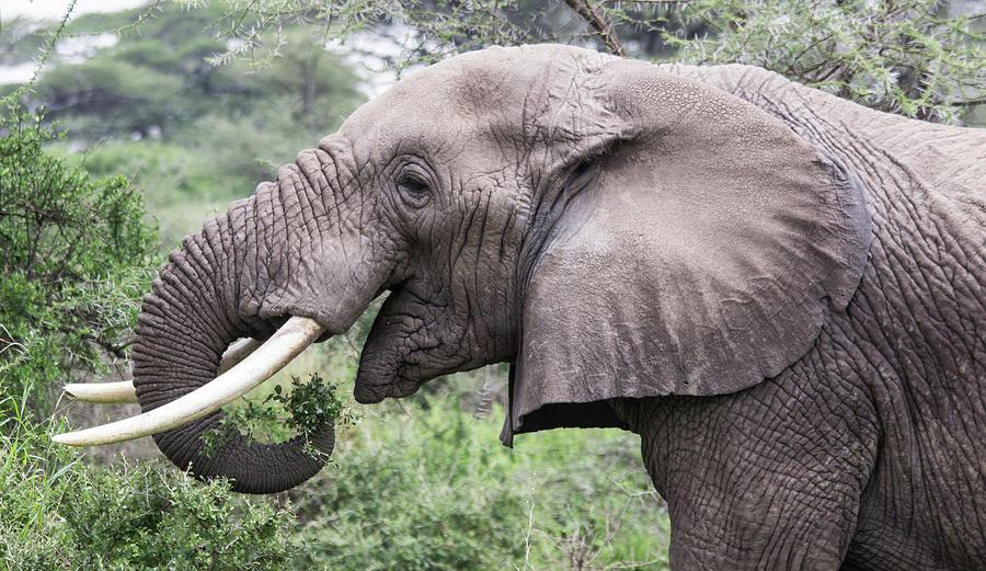 African Elephant Foraging by Brenda Smith DVM