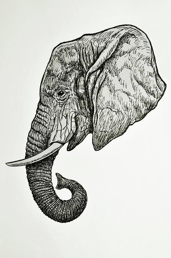 African Elephant Head Drawing By Nicola Fusco