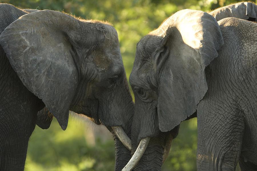 Nobody Photograph - African Elephants Loxodonta Africana by Joel Sartore