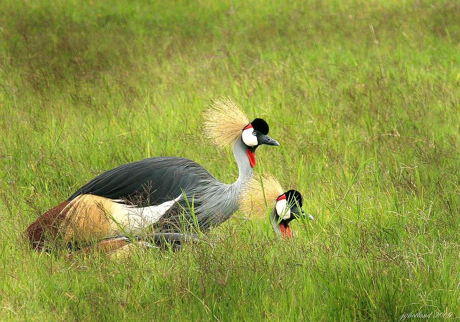 Crane Photograph - African Gray Crown Crane by Joseph G Holland