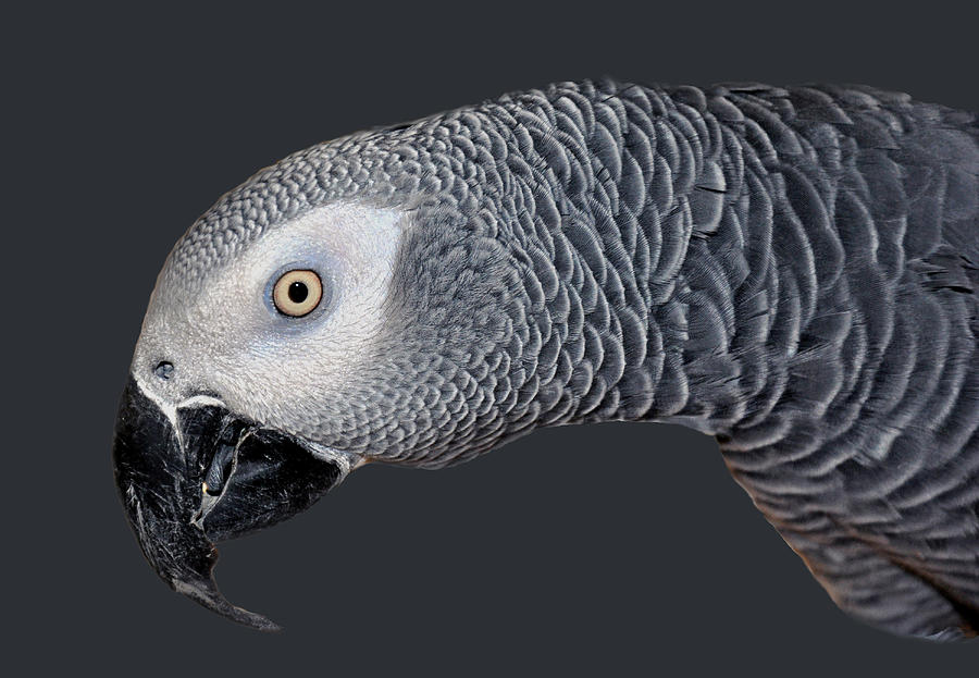 Avian Photograph - African Grey Parrot by Donna Proctor