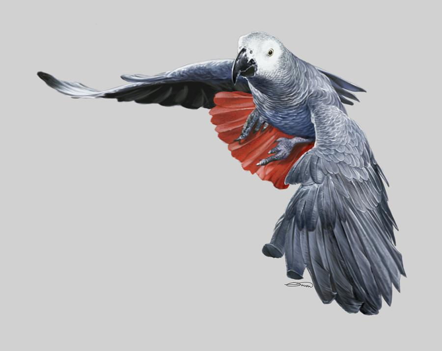 African Digital Art - African Grey Parrot Flying by Owen Bell