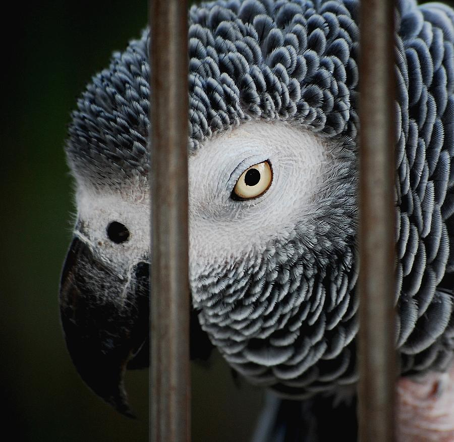 African Grey Photograph - African Grey by Robert Meanor