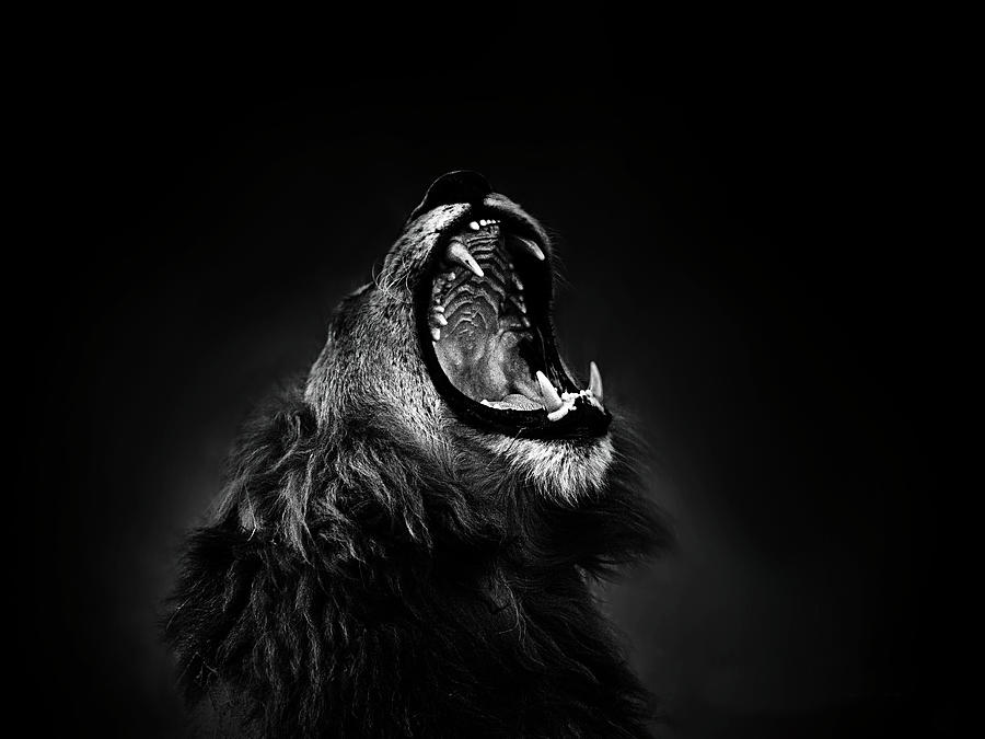 African Lion Male Yawning Showing Fierce Canine Teeth