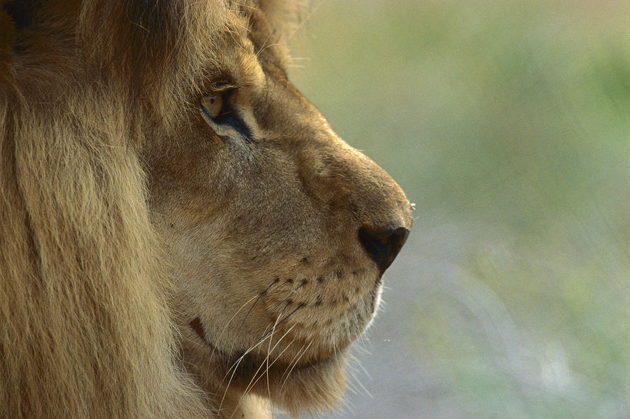 Mp Photograph - African Lion Panthera Leo Male Portrait by Zssd