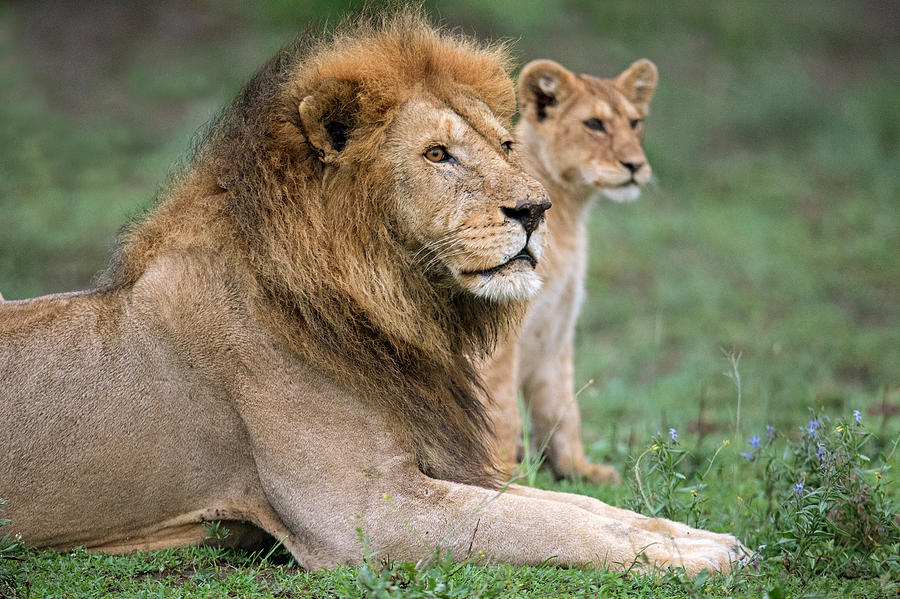 Color Image Photograph - African Lion Panthera Leo With Its Cub by Panoramic Images