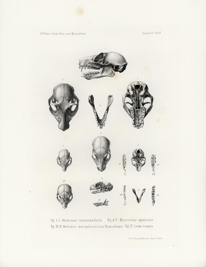 African Mammal skulls by Hugo Troschel
