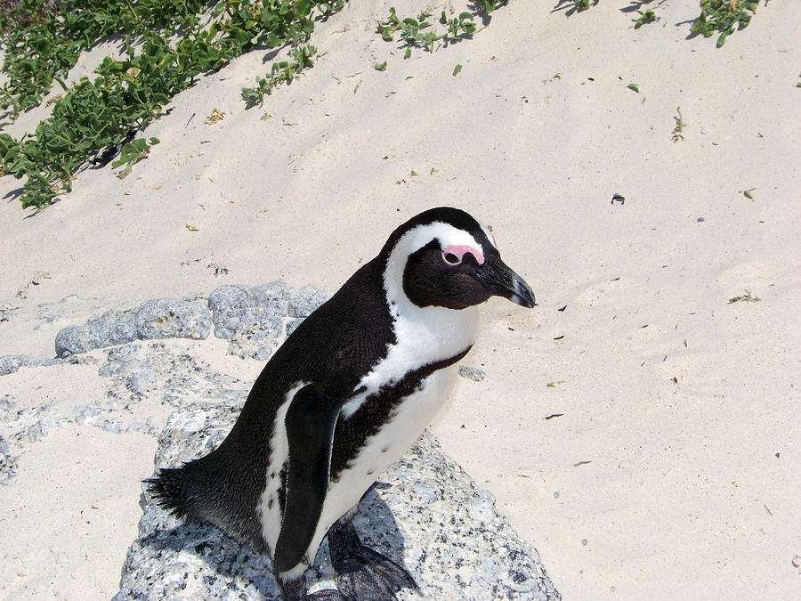 Bird Photograph - African Penguin by Evelyn Patrick