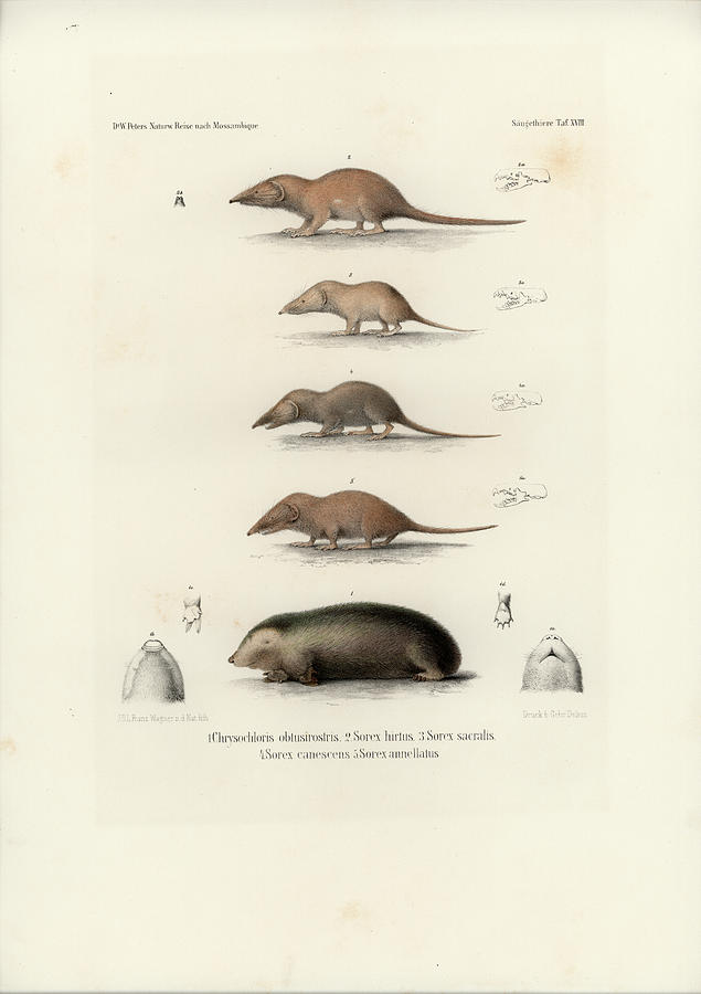 African Shrews by J D L Franz Wagner