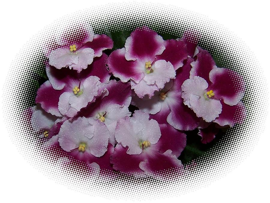 African Violets In An Oval Shape Photograph