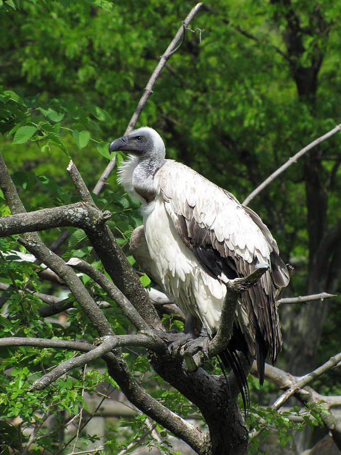 Vulture Photograph - African Vulture by George Jones