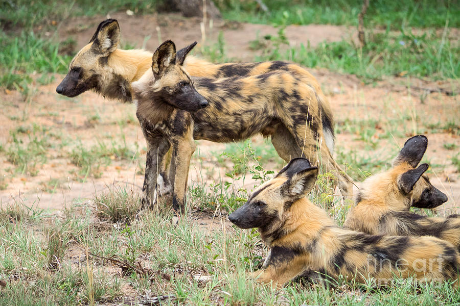 African Wild Dogs Photograph