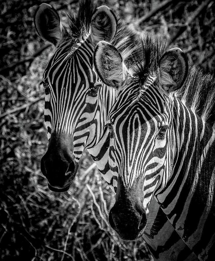 African Zebra by Lev Kaytsner