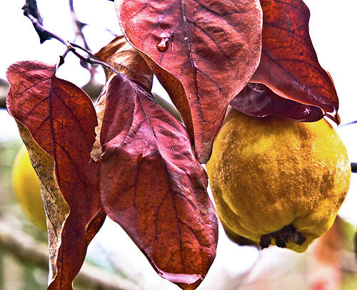 Leaves Digital Art - After Rain - Fall In Mendocino Orchard by Sterling Haidt