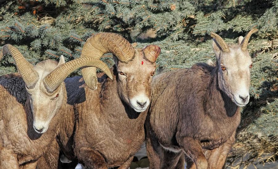 Bighorn Sheep Photograph - After The Rut Bighorn Sheep by Jennie Marie Schell