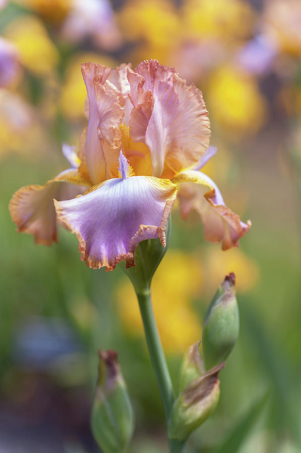 Iris Photograph - Afternoon Delight. The Beauty Of Irises by Jenny Rainbow