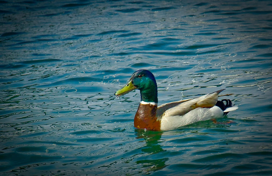 Duck Photograph - Afternoon Swim by Ken Gimmi