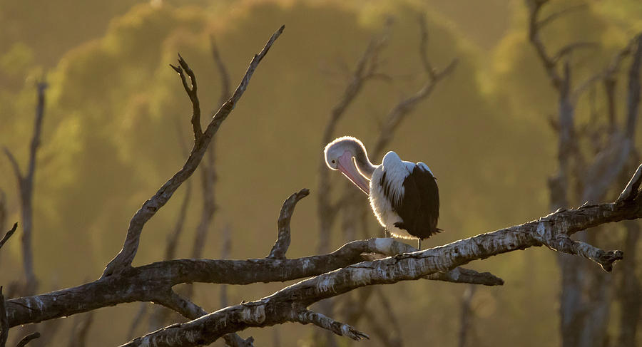 Pelican Photograph - Against the Light by Diana Andersen