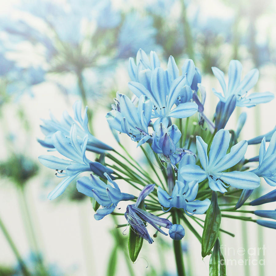 Agapanthus 2 by Cindy Garber Iverson