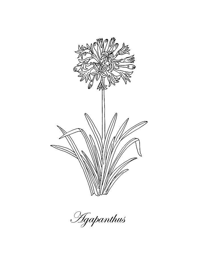 Agapanthus flower botanical drawing black and white drawing by irina agapanthus drawing agapanthus flower botanical drawing black and white by irina sztukowski mightylinksfo