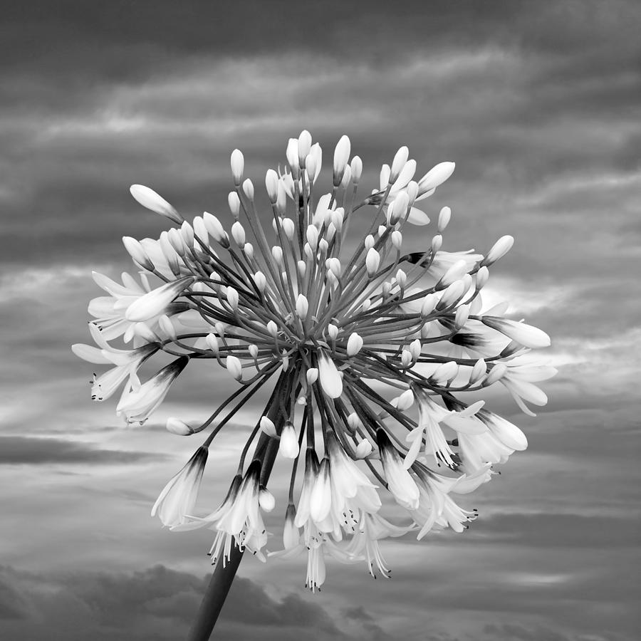 Agapanthus In Black And White Photograph By Gill Billington