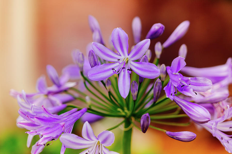 Agapanthus by Judy Wright Lott