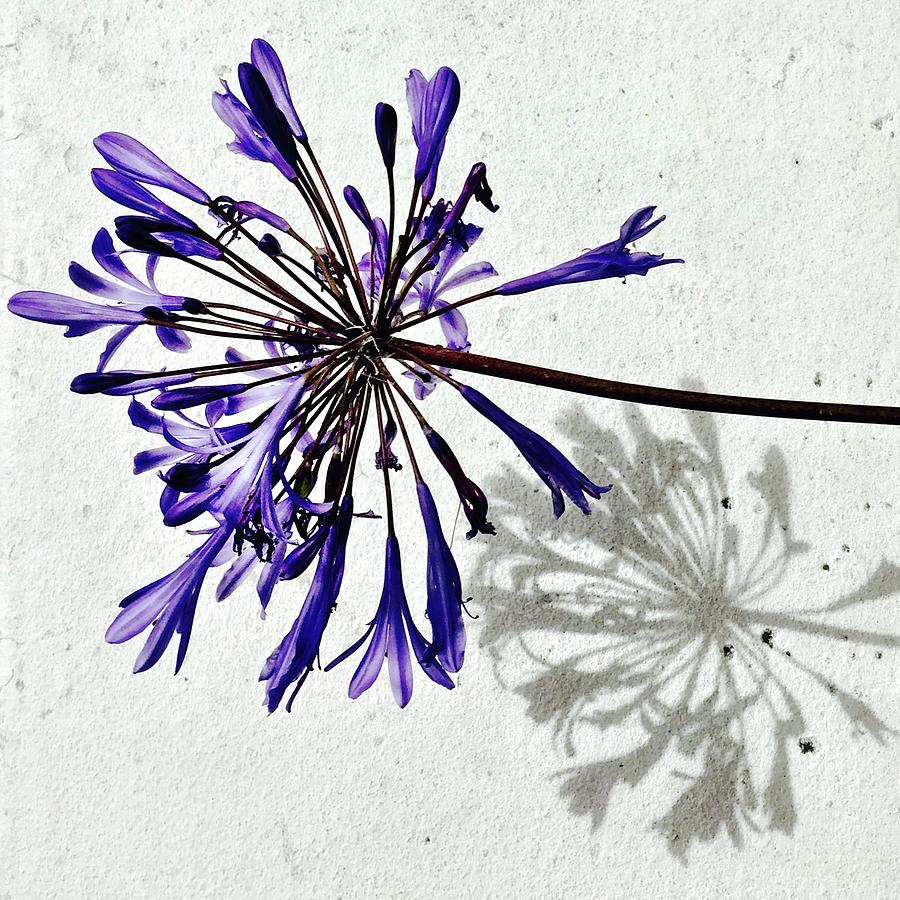 Flower Photograph - Agapanthus by Julie Gebhardt