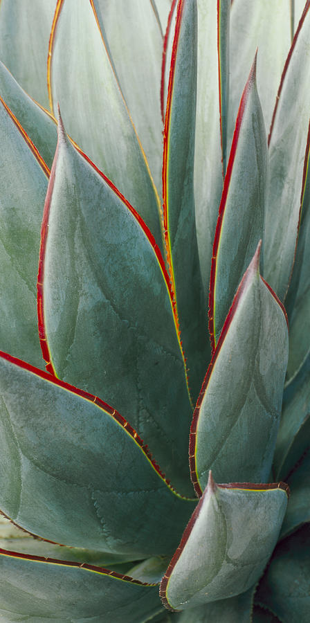 Agave - Blue Glow by Saxon Holt