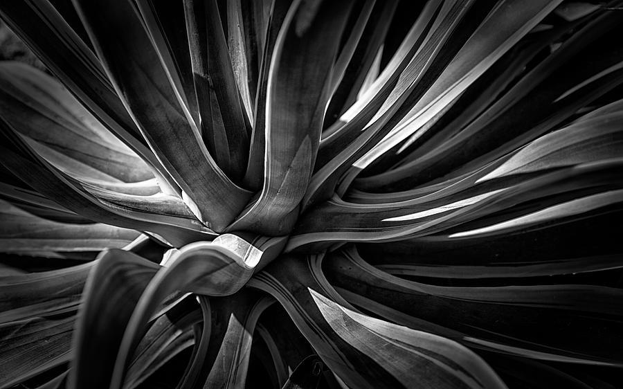 Agave Burst by Lynn Palmer