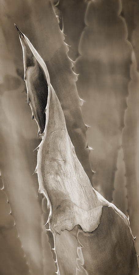 Agave Photograph - Agave Cactus by Bob Coates