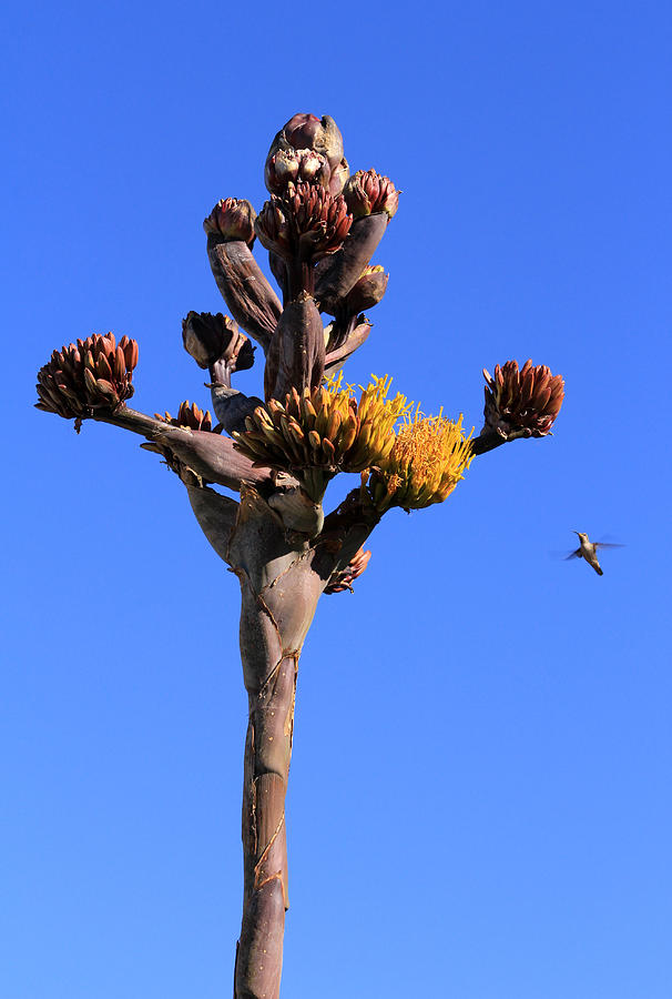 Agave Photograph - Agave Flowers with Hummingbird by Robin Street-Morris