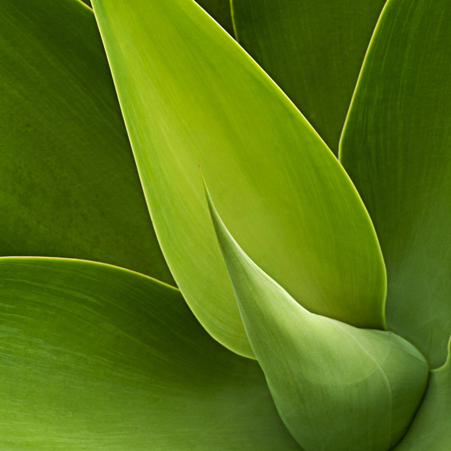 Green Photograph - Agave by Heiko Koehrer-Wagner