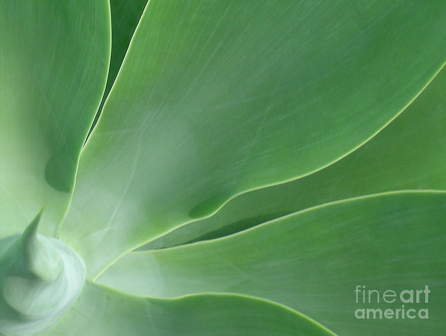 Agave Photograph - Agave by James Temple