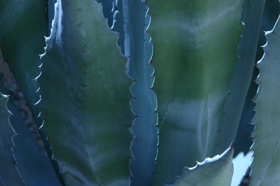 Agave Photograph - Agave by Jerry Cave