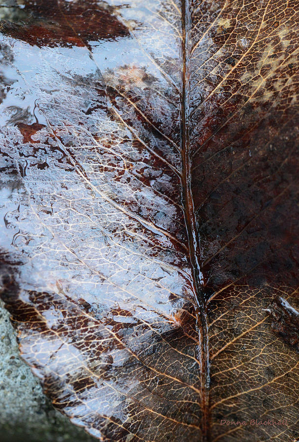 Leaf Photograph - Ageless Beauty by Donna Blackhall