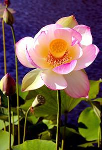 Lotus Photograph - Agua Balboa by Sindi June Short