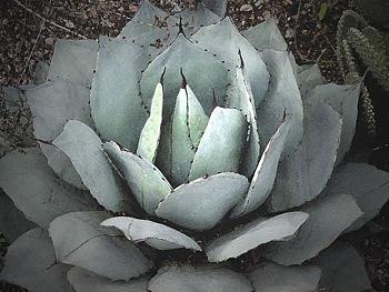 Cactus Photograph - Aguave No 9 by Richard Eller