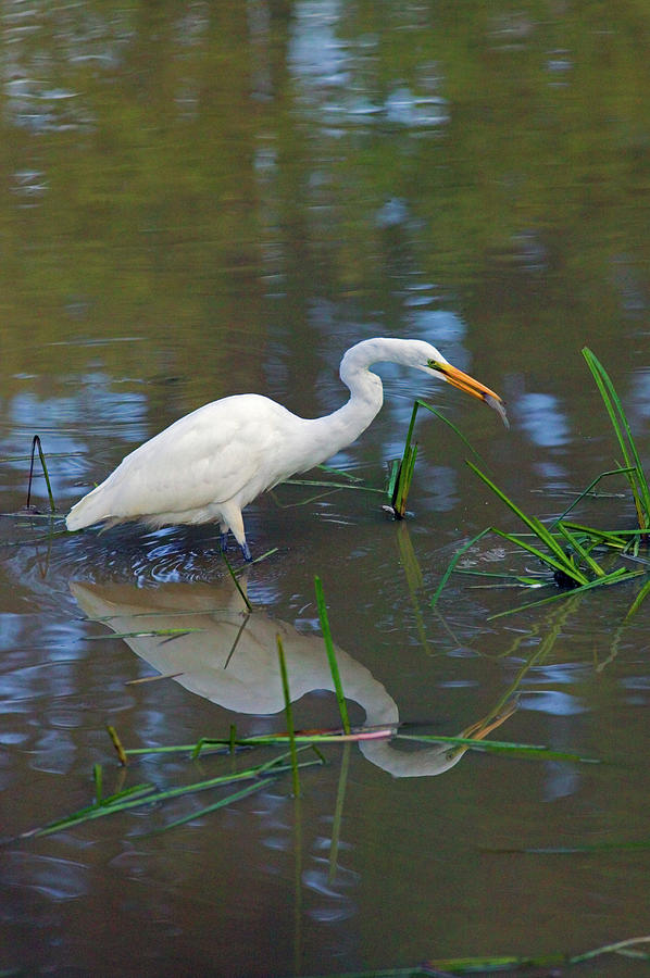 Great Egret Photograph - Ah... Breakfast by Randall Ingalls