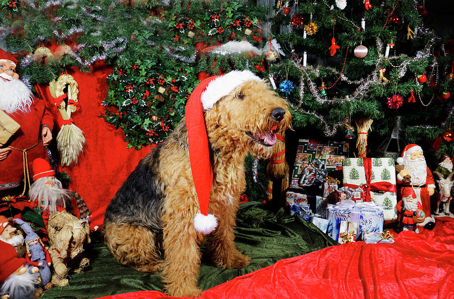 Airedale Terrier Dressed As Santa-claus Photograph
