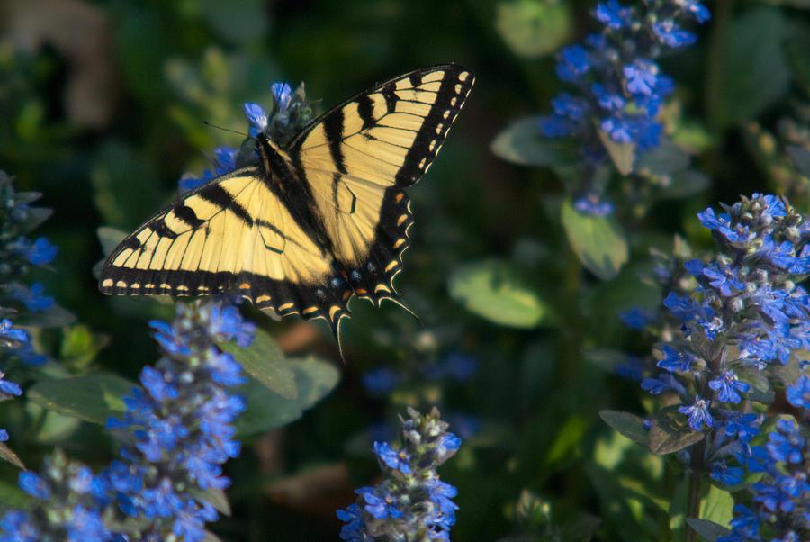 Ajuga Photograph - Ajuga With Tiger Butterfly by Douglas Barnett