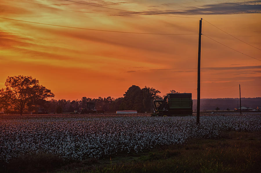 Alabama Cotton Fields by Daryl Clark