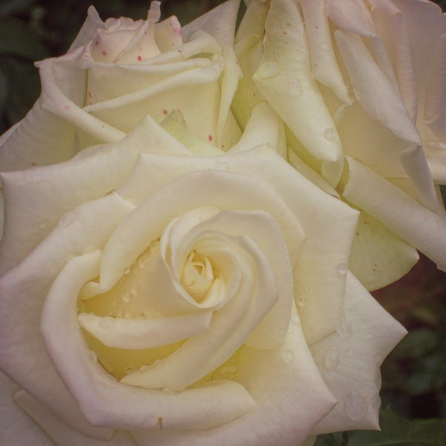 Rose Photograph - Alabaster Roses by JAMART Photography