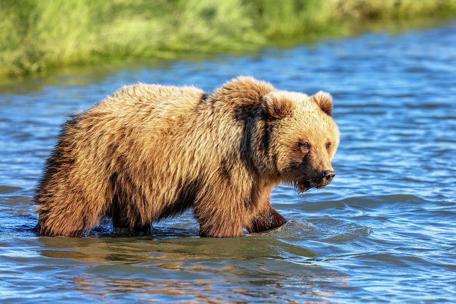 Alaska Photograph - Alaska Bear by Mike Centioli