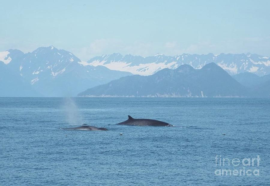 Alaska Finback Whales by Barbara Von Pagel